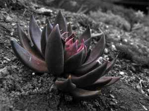 Black Lotus Picture