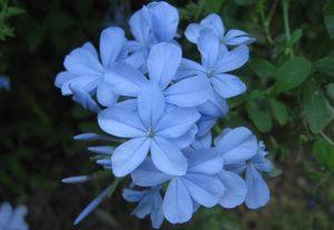 Blue Jasmine Flower