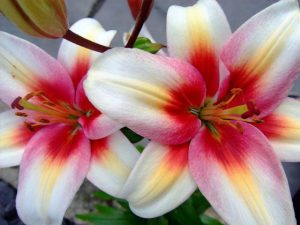 Flowers Lilies