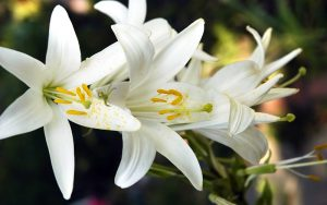 Flowers Lily
