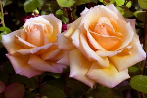 Flowers Roses Pictures