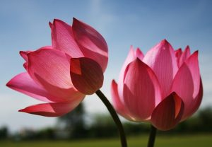 Image of Lotus Flower