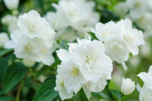 Images of Jasmine Flowers