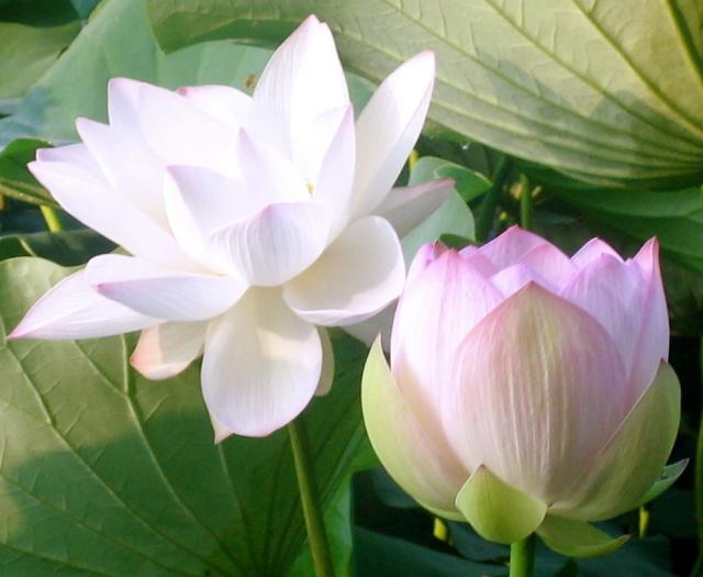 lotus pictures  digital hd photos, Natural flower