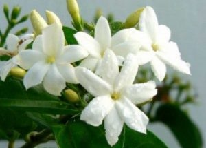 Jasmine Flower Backgrounds