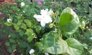 Jasmine Flower Pictures