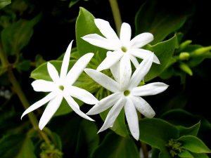 Jasmine Flower Tree
