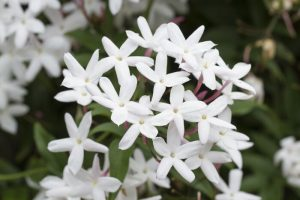 Jasmine Flowers Images