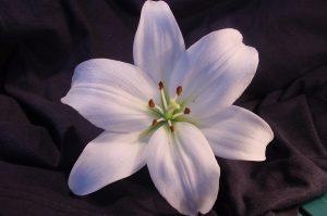 Lilys Flower