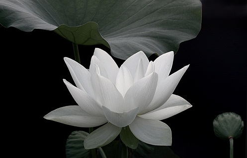 Lotus Pictures Digital Hd Photos