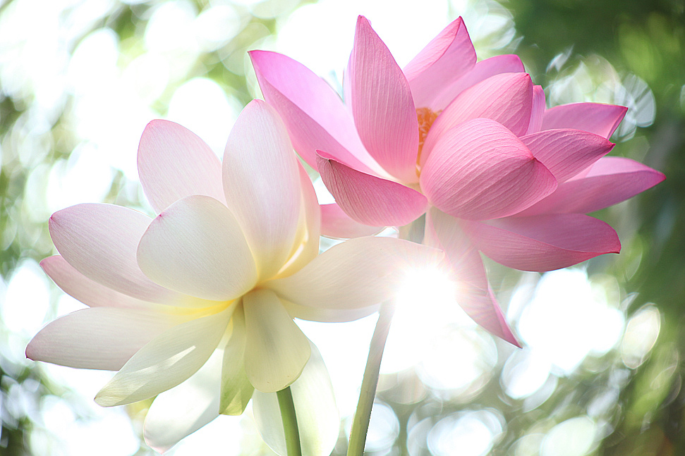 lotus pictures  digital hd photos, Beautiful flower