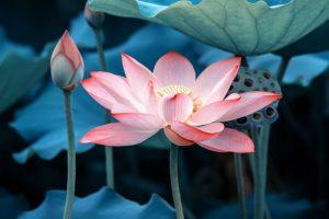 Lotus Flower Pics