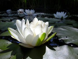 Lotus Flowers Images