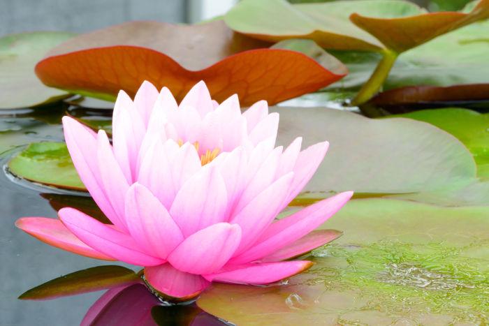Lotus Pictures Digital Hd Photos