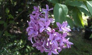 Purple Jasmine Flower