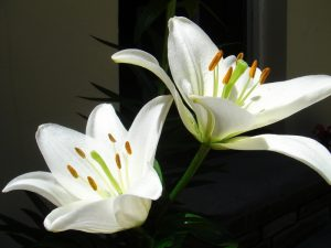 The Flower Lily