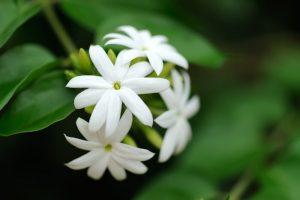 The Jasmine Flower