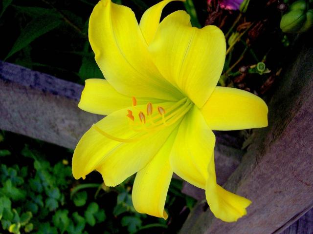 lily pictures  digital hd photos, Beautiful flower