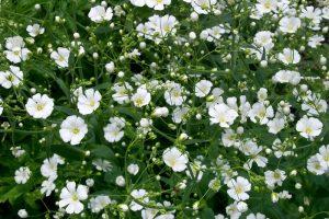 Babys Breath Flower