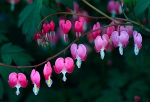 Bleeding Heart Images