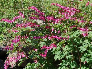 Bleeding Heart Plant Pictures