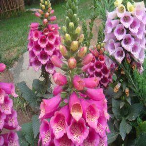 Flower Foxglove