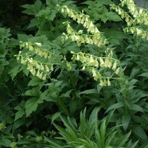Foxglove Perennial