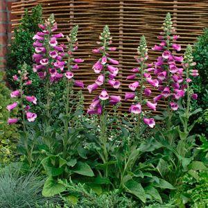 Foxglove Plant Pictures