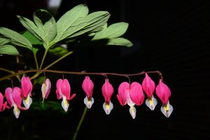 Pictures of Bleeding Heart Flowers