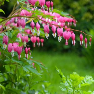 Pictures of Bleeding Hearts
