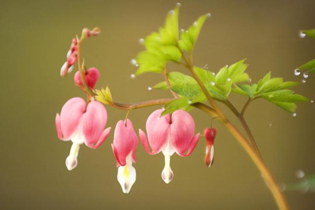 Bleeding Heart Flower Pictures Digital Hd Photos